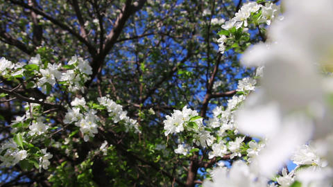 Blossom apple tree branches close-up Stock Video Footage