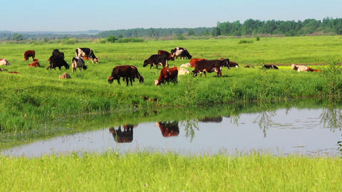 herd of cows on pasture near lake Footage