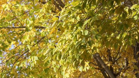 Yellow leaves 03 Stock Video Footage