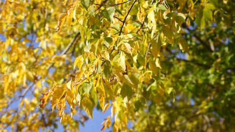 Yellow leaves 05 Footage