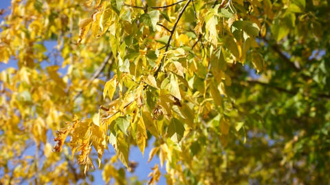 Yellow leaves 05 Stock Video Footage