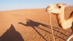 Camel Ride, Morocco Footage