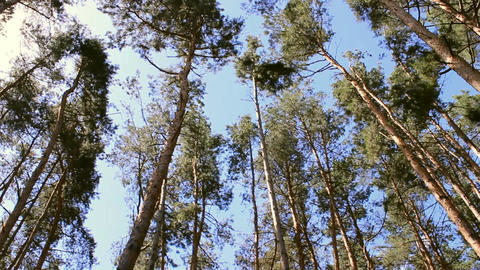 pine forest Stock Video Footage