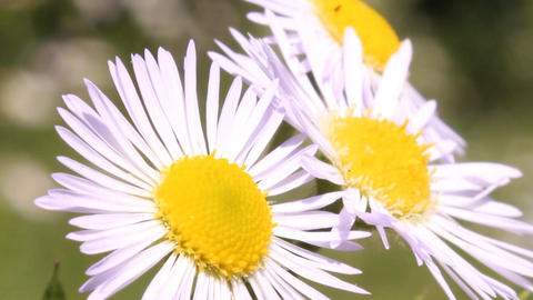 Three Daisies stock footage