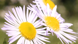 three daisies Stock Video Footage