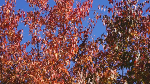 Red autumn leaves 02 Stock Video Footage