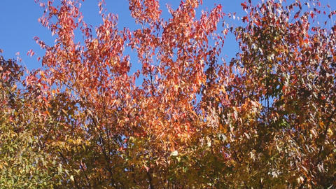 Red autumn leaves 04 Stock Video Footage
