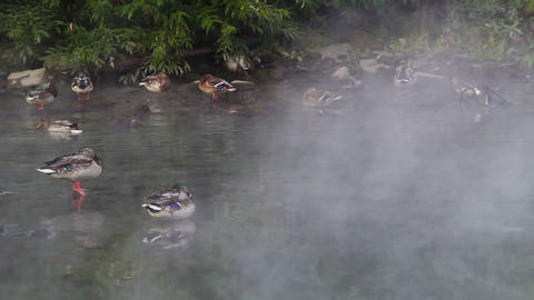 Ducks in the fog Footage