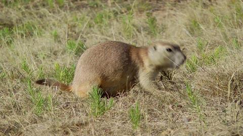 Prairie Dog Stock Video Footage