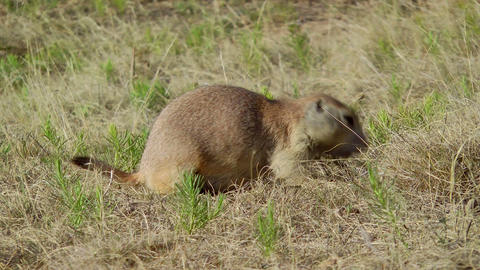 Prairie Dog stock footage