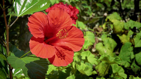 Hibiscus stock footage