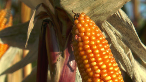 corncob in corn (Maize) field extreme closeup Stock Video Footage
