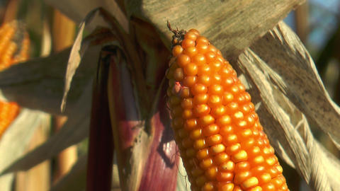 corncob in corn (Maize) field extreme closeup Footage