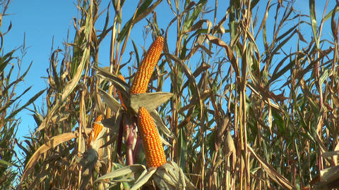 corn (maize) plants closeup Stock Video Footage