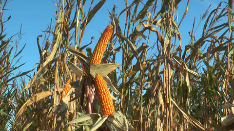 corn (maize) plants closeup Footage