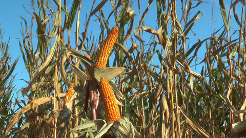corn (maize) plants closeup Stock Video Footage