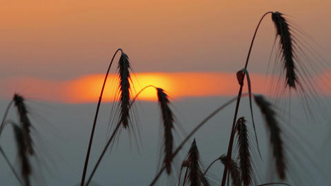 Wheat At Dawn Footage