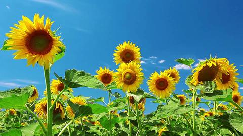Sunflowers Footage