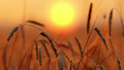 Wheat At Dawn Footage