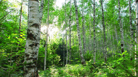 Morning In A Birch Forest Footage