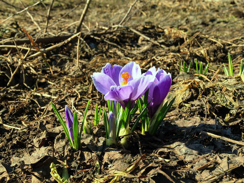 Flowers bloom in spring. Time Lapse. 4x3 Stock Video Footage