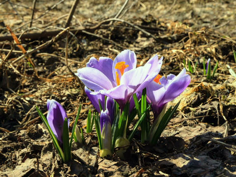 Flowers bloom in spring. Time Lapse Footage