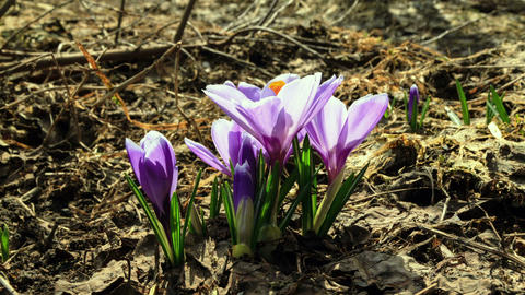 Flowers bloom in spring. Time Lapse Stock Video Footage