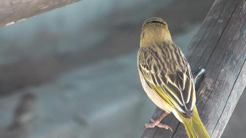 weaver bird (Ploceus cucullatus) in namibia closeu Stock Video Footage