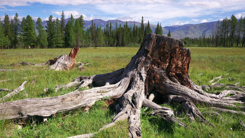 Time Lapse Tree Stump and roots Stock Video Footage