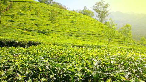 mountain tea plantation in Munnar Kerala India Footage