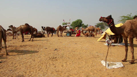 Pushkar Camel Fair - group of camels during festiv Footage