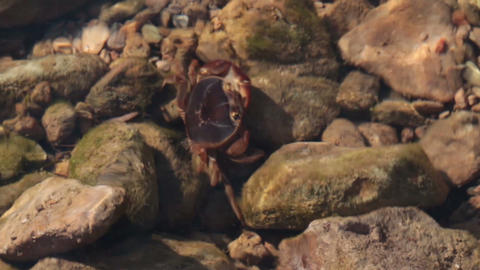 crab underwater in river shallow Stock Video Footage