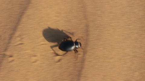 scarab beetle running in desert Stock Video Footage