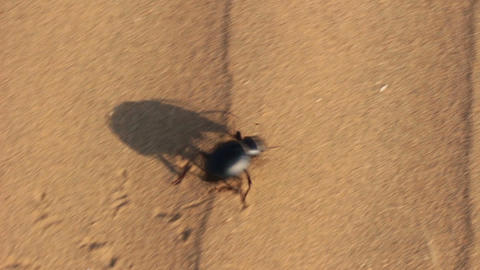 scarab beetle running in desert Footage