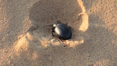 scarab beetle digs hole in sand - macro Stock Video Footage