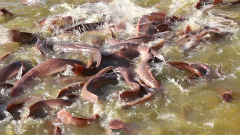 many fish splashing in lake, where local people fe Stock Video Footage