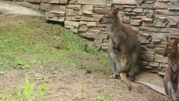 Kangaroo family Stock Video Footage