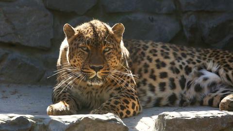 Jaguar Footage