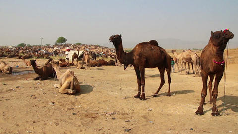 Pushkar Camel Fair - group of camels during festiv Stock Video Footage