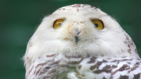 polar owl looking Footage