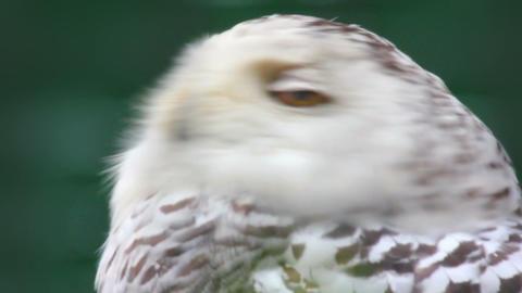 polar owl looking Stock Video Footage