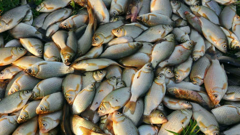 Catching Crucian Fish Lying On Grass stock footage