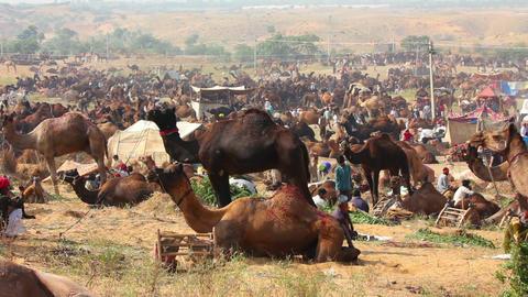 Pushkar Camel Fair - group of camels during festiv Footage
