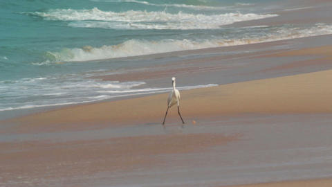 hunting heron on beach Footage