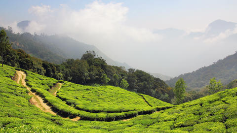 Mountain Tea Plantation In Munnar Kerala India - T stock footage