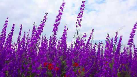 field of flowering spikes and cloudy sky Stock Video Footage