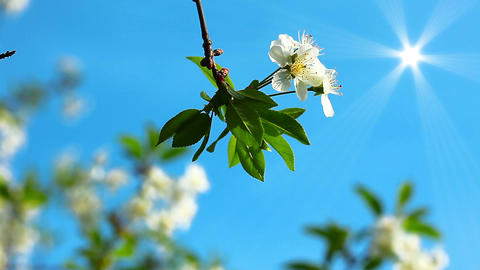 flowering tree Stock Video Footage