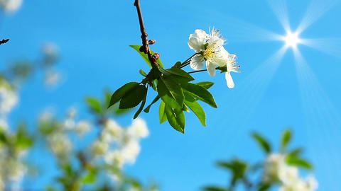 Flowering Tree stock footage