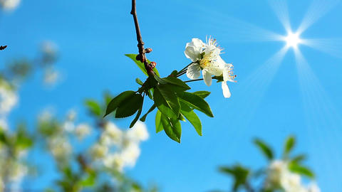 flowering tree Stock Video Footage
