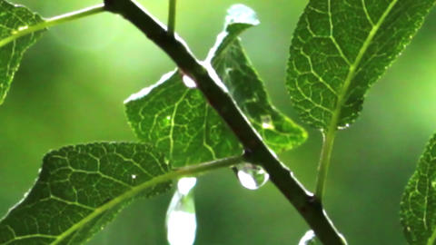 rain drops on green leaves Footage